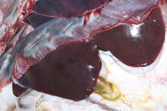 Photo showing  Post mortem imbibition of bile pigment in the mesenteric fat tissue adjacent to the gall bladder of a mouse.
