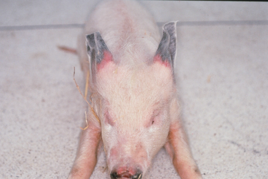 Photo of Dry gangrene in the black ear tips of a pig.