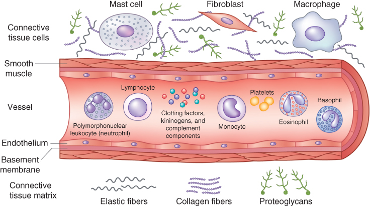 Illustration depicting Cells involved in inflammation: neutrophils, macrophages, eosinophils, mast cell and basophils.