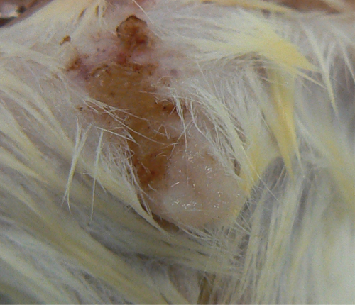 Photo of Necrosis, erosion and ulceration of the skin in the preputial gland area of a mouse.