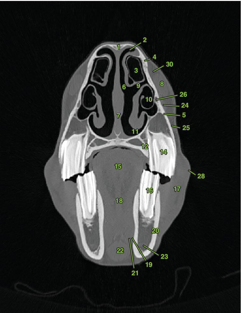 3 Radiographs of transverse section 4 displaying the nasal and sinus structures, oral and dental structures, vascular anatomy, orbicularis oris m., and buccal salivary gland of a horse.