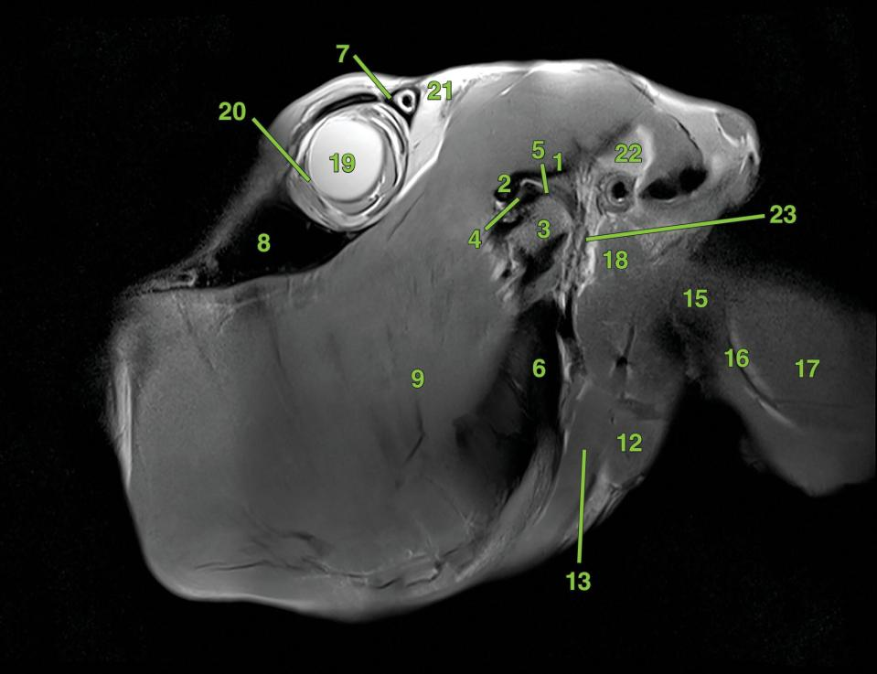 Photo of the equine skull in top view, with a vertical line labeled S1.