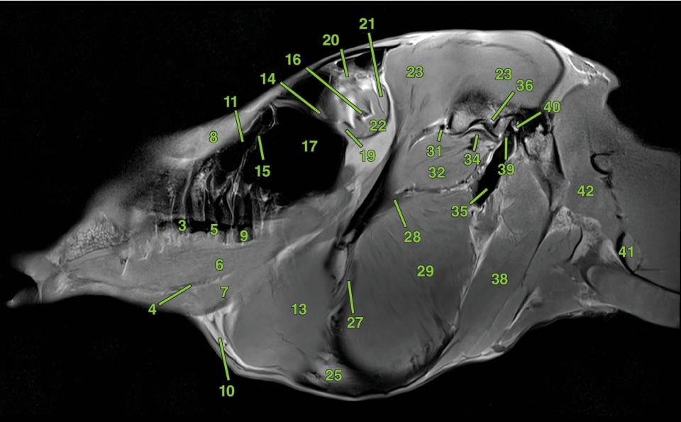 Photo of sagittal section 1 displaying the ophthalmic structures, glandular structures, oral and dental structures, vascular anatomy, muscles, and bones of the head of a horse.