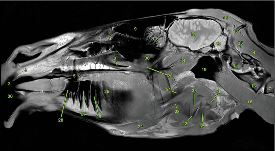 Photo of the equine skull in top view, with a vertical line labeled S2.