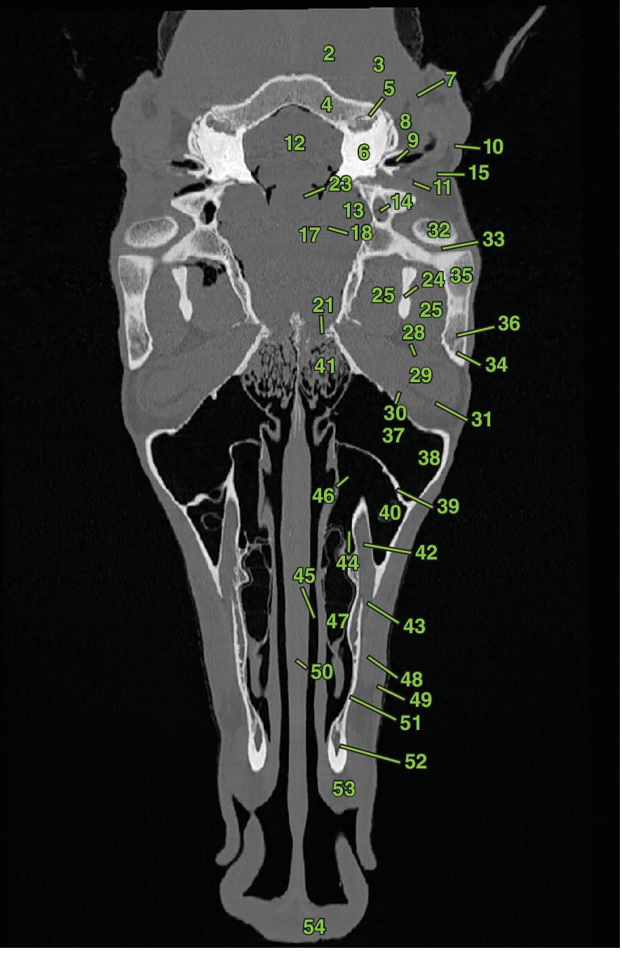 Photo displaying dorsal section 1 of an equine head depicting the bones of the head, nasal and sinus structures, ophthalmic structures, auricular structures, brain and nervous system, vascular anatomy, etc.