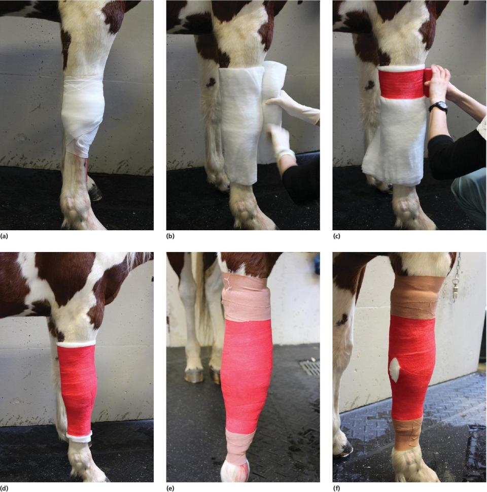 6 Photos displaying the steps in creating a carpal bandage of the wound of a horse.