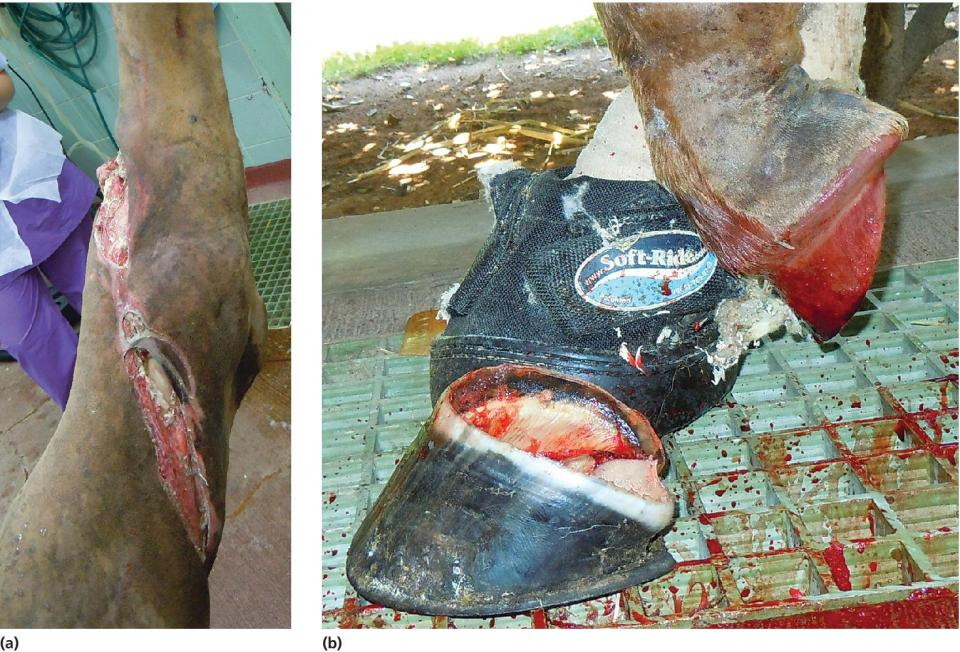 2 Photos displaying a horse that suffered a degloving injury to the medial and dorsal surface of the metatarsus that so severely impaired the vascular supply to the foot that the hoof capsule was lost.