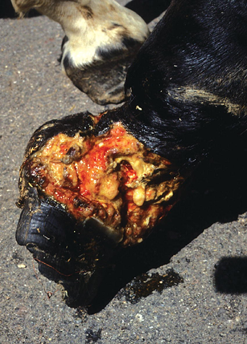 Photo displaying a horse with an extensive laceration of the pastern. The laceration enters the proximal and distal interphalangeal joints, and transects the lateral collateral ligaments of both joints.