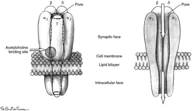 Diagram shows nicotinic cholinergic receptor having acetylcholine binding site, pore, synaptic face, cell membrane, lipid bilayer, and intracellular face.