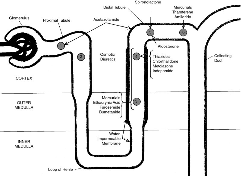 Diagram shows location within nephron having glomerulus, proximal tubule, distal tubule, osmotic diuretics, et cetera.