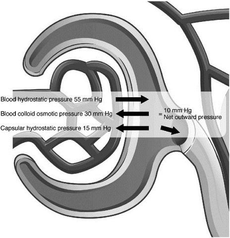 Diagram shows glomerular net filtration pressure having blood hydrostatic pressure, blood colloid osmotic pressure, and capsular pressure.
