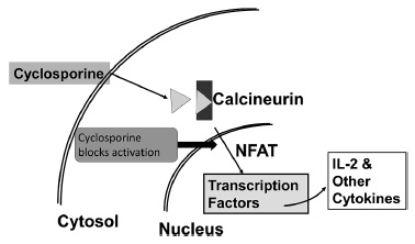 Diagram shows action mechanism of cyclosporine with markings for cytosol, nucleus, IL-2 and other cytokines, transcription factors, et cetera.