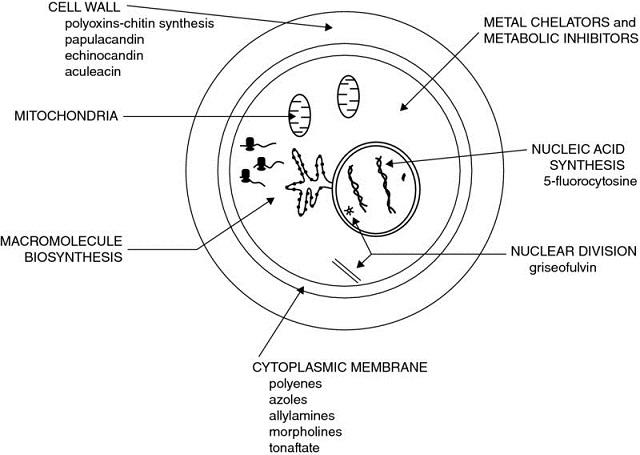 Diagram shows schematic anatomy having cytoplasmic membrane, macromolecule biosynthesis, mitochondria, nucleic acid, et cetera.