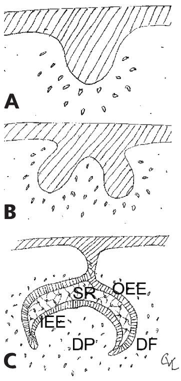 3 Line drawings of tooth development displaying dental lamina growing into the subjacent tissue (a), dental bud shapes into the cap (b), and concurrent with changing shape to resemble a bell (c).