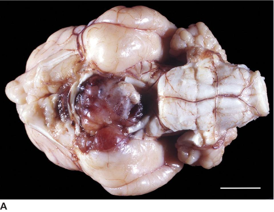 Photo displaying the ventral view of the brain of a 4-year old male Siamese cat with a large chromophobe adenoma.