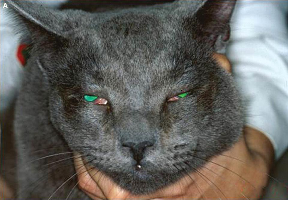 Photo of a cat with blepharospasm secondary to entropion, with eyelid outer margin and hair directly contacting the conjunctival and corneal surfaces.