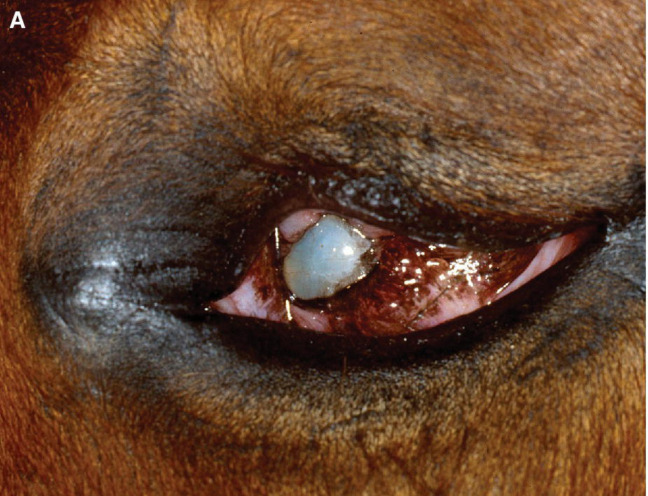 Photo of an animal's eye with microphthalmia.