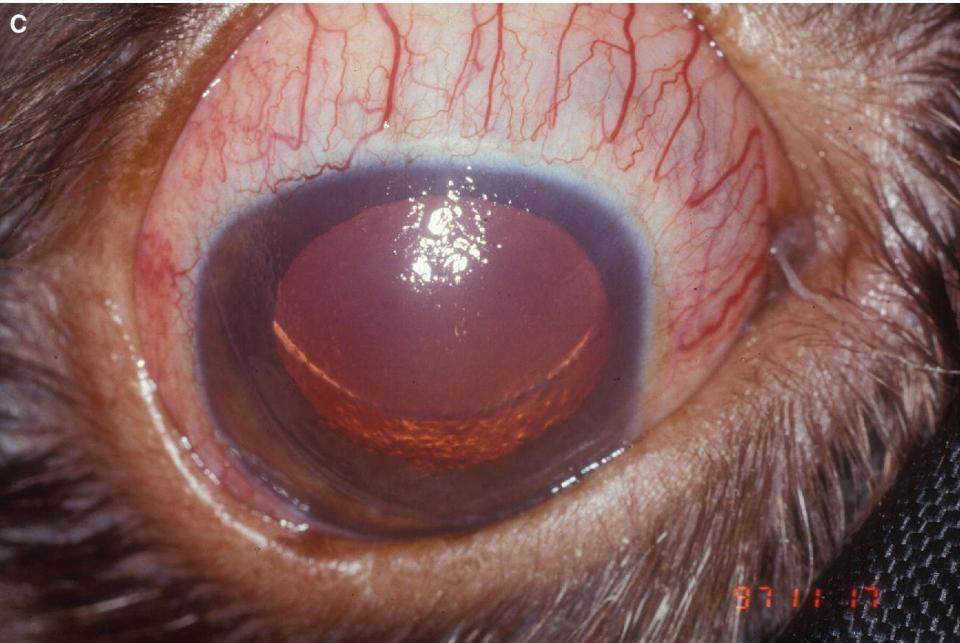 Photo displaying episcleral injection in an American Cocker Spaniel with primary glaucoma and a subluxted lens.