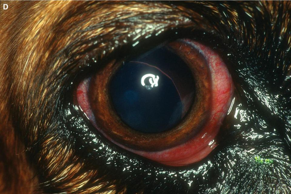 Photo displaying episcleral injection in a Bassett Hound with primary glaucoma and a subluxated lens.
