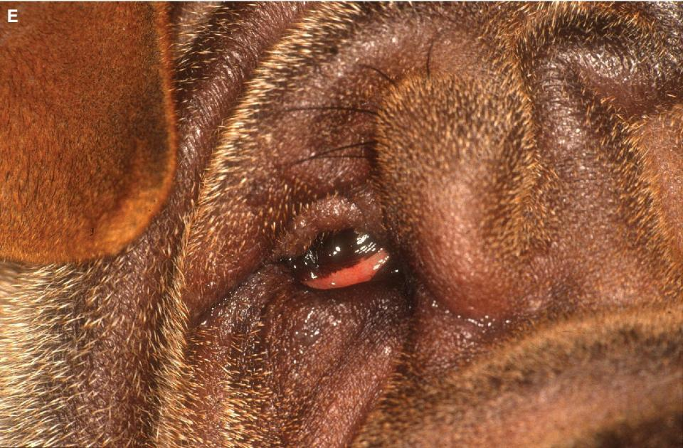 Photo displaying the eye of a mature Chinese Shar Pei with entropion affecting upper and lower eyelids.