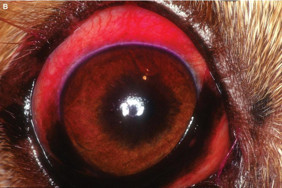 Photo displaying eye of a terrier-mix dog with acute keratocunjunctivitis sicca stained with rose Bengal with lack of corneal luster and diffuse stain retention by both cornea and bulbar conjunctiva.