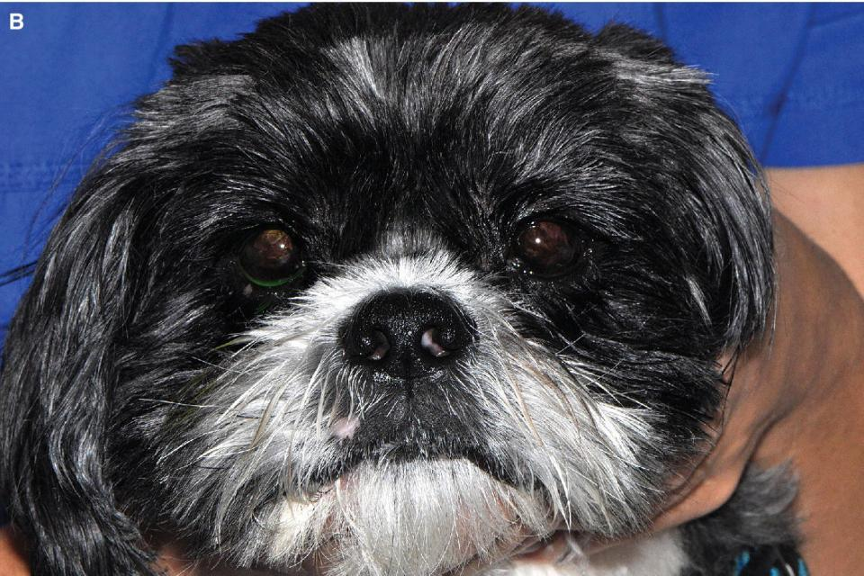 Photo displaying a Shih Tzu dog with chronic KCS of several month's duration with vascularization and pigmentation of the cornea.