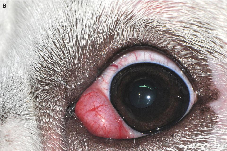 """Photo displaying Close‐up of a 1‐year‐old English Bulldog puppy with a unilateral """"cherry eye."""""""
