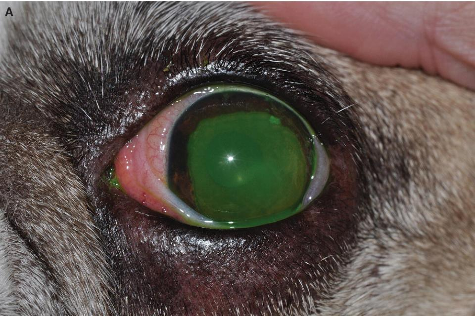 Photo displaying dog's eye with a superficial corneal ulcer stained with topical fluorescein.
