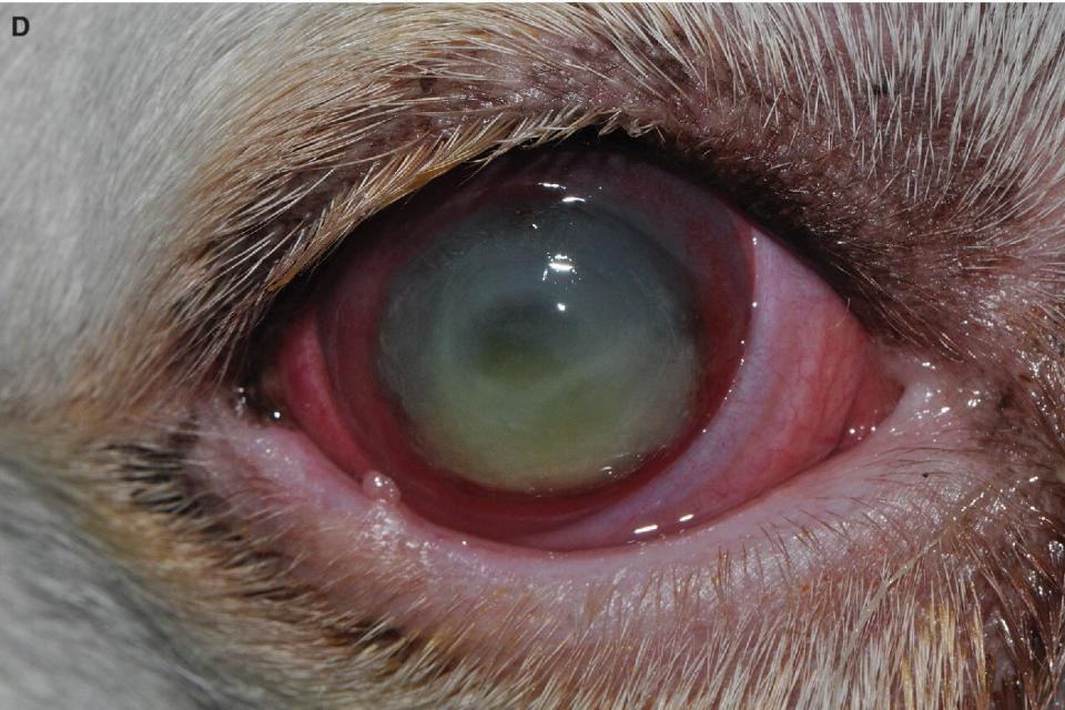 Photo displaying eye of a mixed-breed dog with deep stromal and infected corneal ulcer with the ring of perilimbal vascularization approaching central wound and axial cellular infiltrate and soft malacic edges.