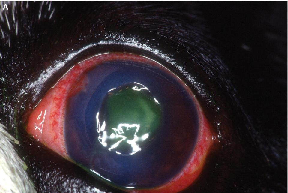 Photo displaying a deep central corneal ulcer in a dog's eye. It has been stained with topical fluorescein.