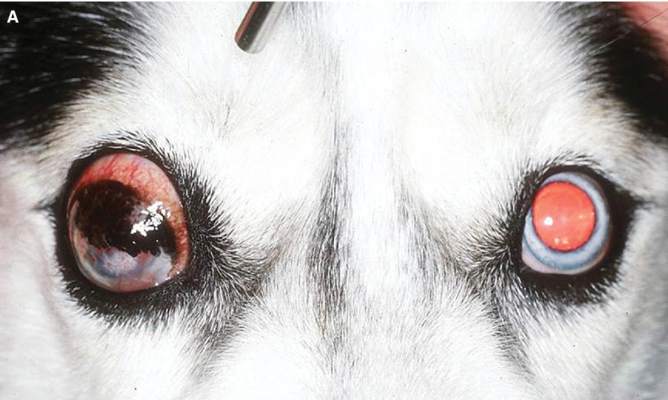 Photo displaying a Siberian husky dog with advanced glaucoma in the right eye and early glaucoma in the left eye.
