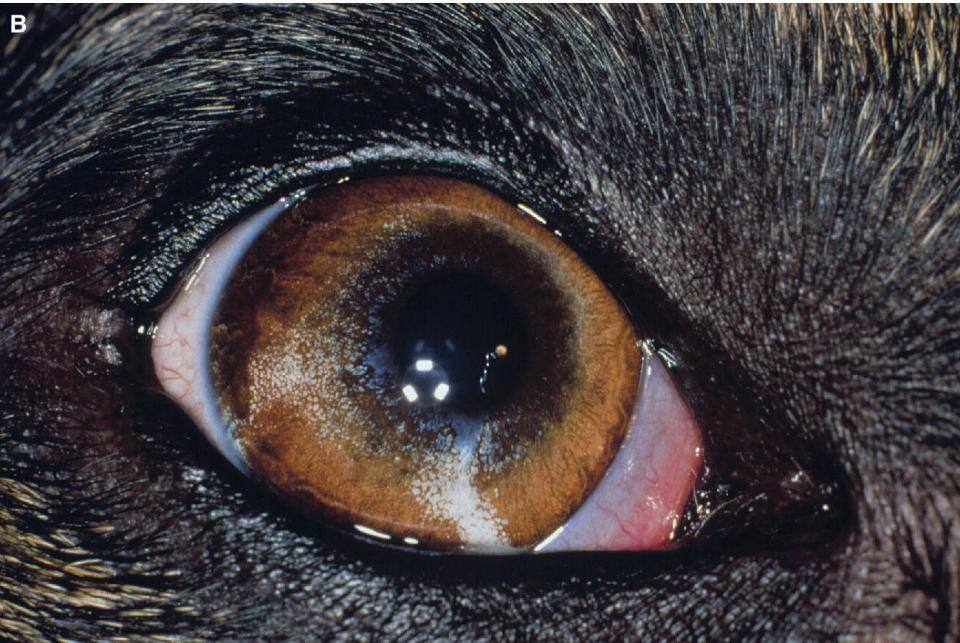 Photo of an eye of a dog displaying heterochromia iridis being associated with merling.