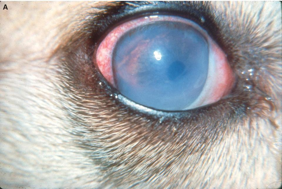 Photo of a dog's eye displaying acute iridocyclitis of less than 24 hours' duration with conjunctival hyperemia, miosis, and profound corneal edema.