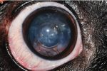 Canine Lens and Cataract Formation