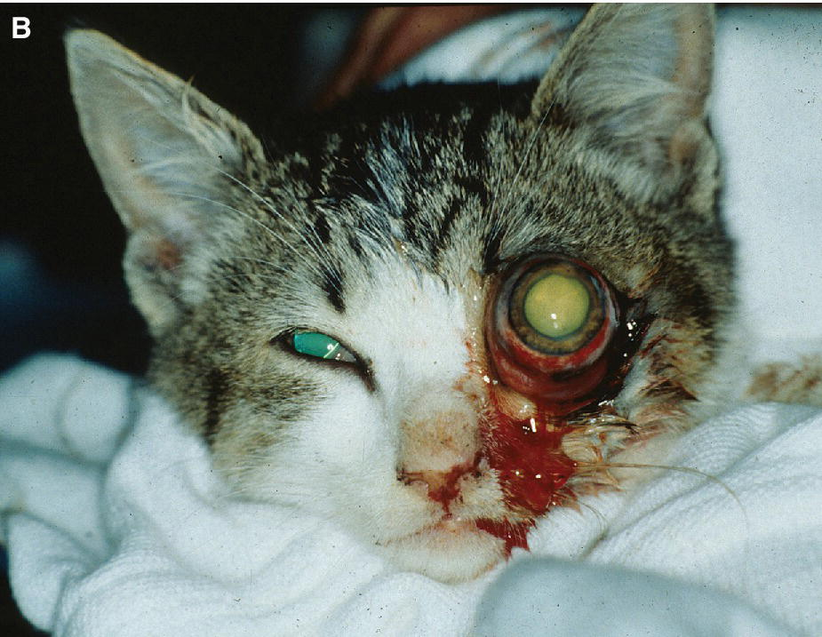 Photo of a cat displaying traumatic proptosis with dilated pupil.