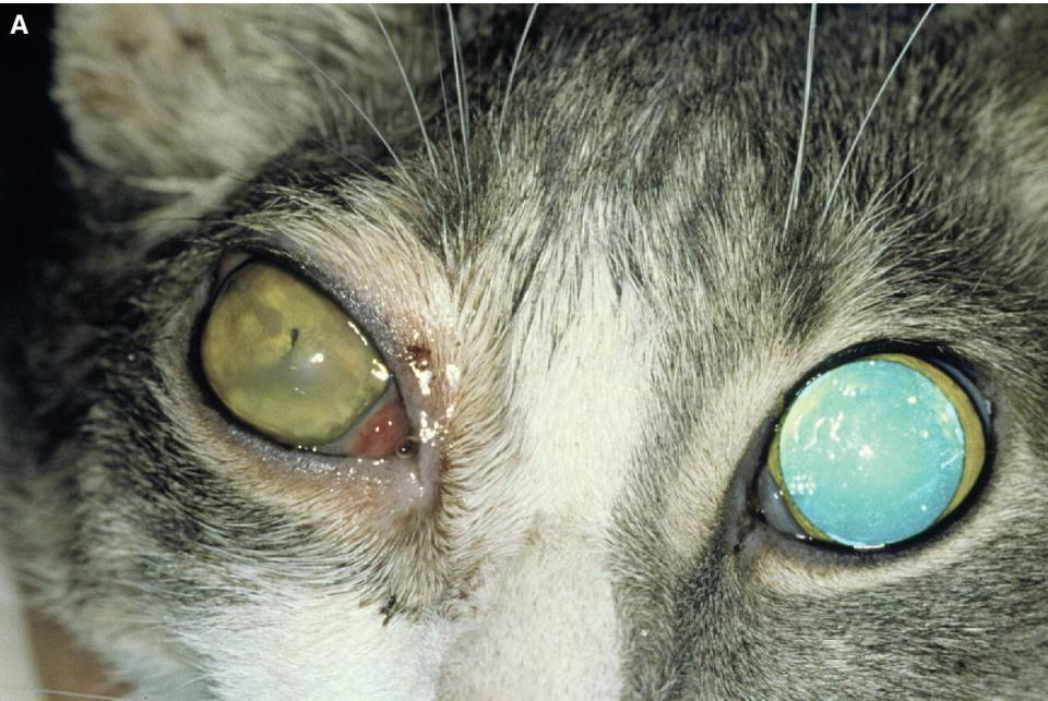 Photo of a cat's eye displaying orbital cellulitis with exophthalmos, swollen eyelids, and secondary iridocyclitis (miosis).
