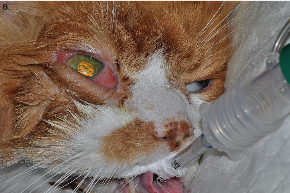 Photo of a cat's eye displaying orbital cellulitis with exophthalmos, conjunctival swelling and hyperemia, and dull, dry central cornea.