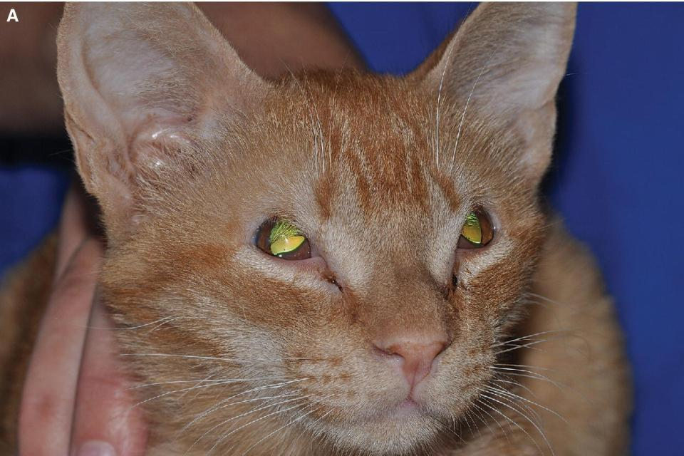 Photo displaying eyelid agenesis in a young cat affecting both lateral upper eyelids.