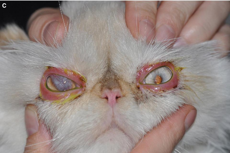 Photo of a cat displaying severe bilateral autoimmune blepharitis with a conjunctival pedicle graft on the right cornea covering a keratectomy site.