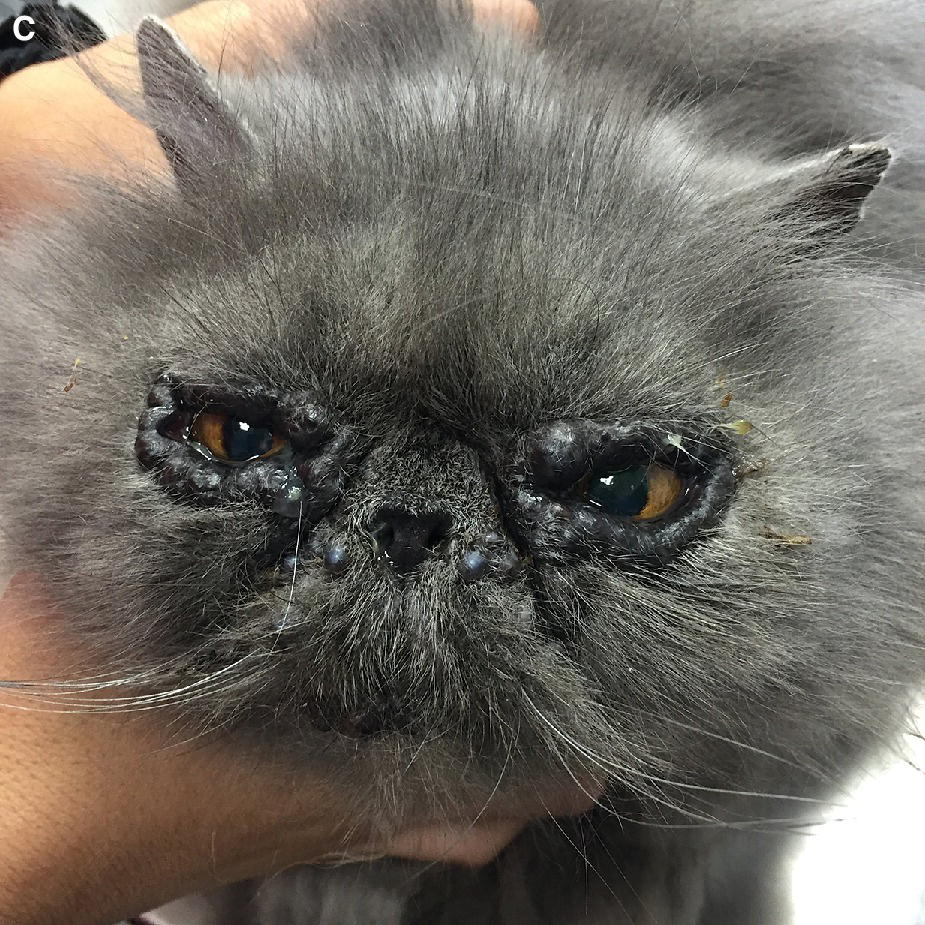 Photo displaying apocrine hidrocystomas in Persian cat's eyes.