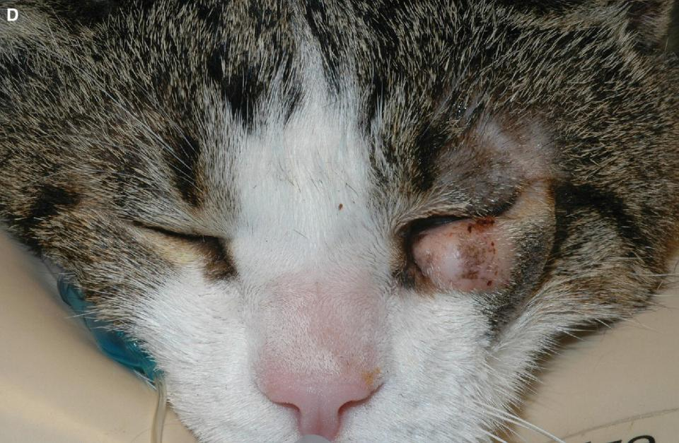Photo displaying cutaneous mast cell tumors with focal alopecia in the eyelid of a cat.