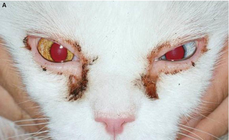Photo displaying early keratoconjunctivitis sicca (KCS) in a cat's eye, with ocular discharge.