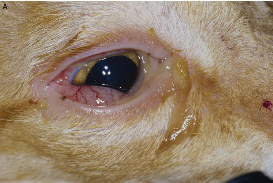 Photo displaying recurrent FHV‐1 conjunctivitis in an adult cat's eye with the presence of chemosis of the ventral conjunctiva.