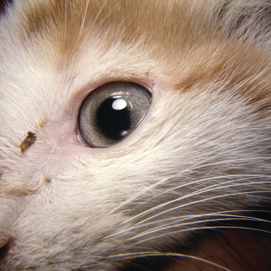 Photo displaying chlamydia conjunctivitis in a kitten's eye with conjunctival discharge at the medial canthus.