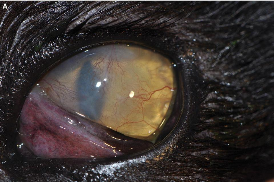 Photo displaying feline herpesvirus‐1 stromal keratitis in a 3‐year‐old cat's eye with stromal edema and scarring with superficial vascularization.