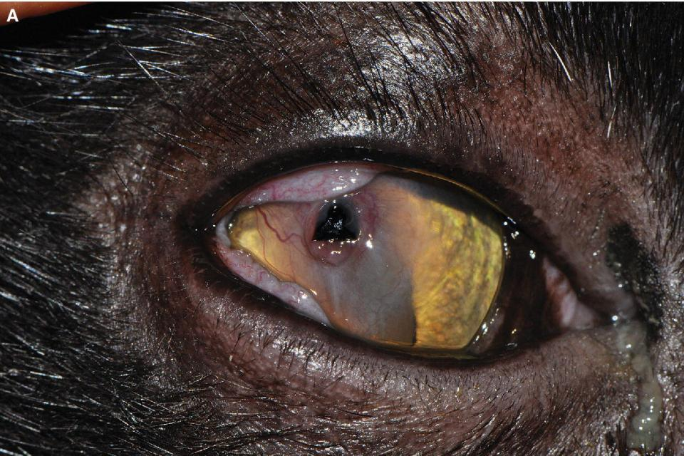 Photo displaying corneal sequestration and corneal ulceration in a young cat with dark plaque in the base of the ulcer.