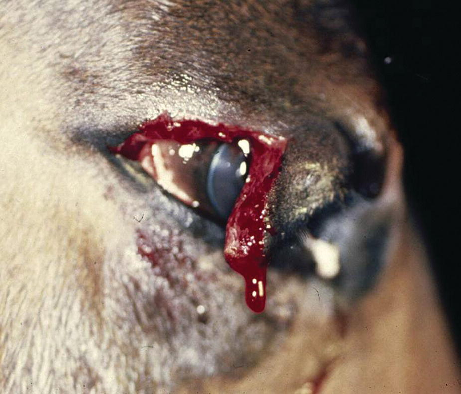 Photo displaying an eyelid laceration in a young horse's eye with the lateral eyelid being partially torn and remains attached medially.