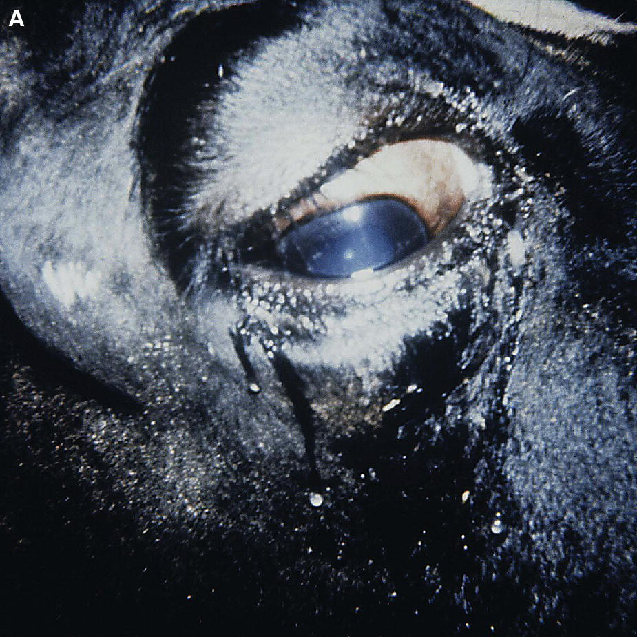Photo displaying a Holstein cow's eye with systemic lymphoma involving the retrobulbar tissues and resulting in exophthalmia.