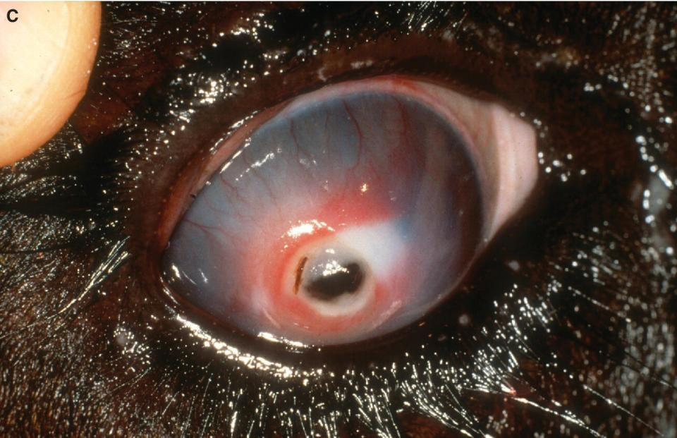 Photo of a cattle's eye displaying a more advanced IBK with corneal ulceration perforation and iris prolapse.