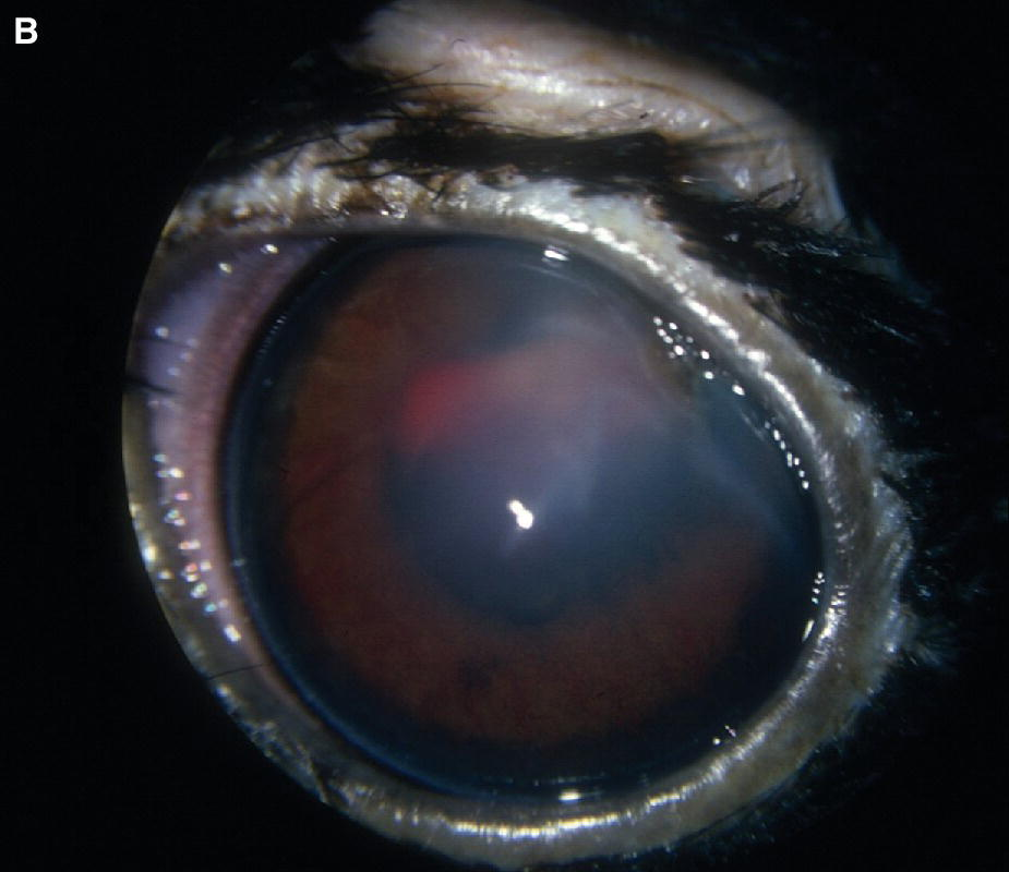 Photo of golden eagle's eye with corneal defect, fibrin, clotted hyphema, and secondary iridocyclitis.